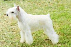 Miniature Schnauzer royalty free stock photos