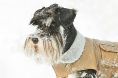 Miniature schnauzer on snow Royalty Free Stock Photo