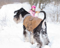 Miniature schnauzer on snow Stock Photos