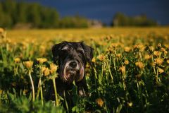 Miniature schnauzer in the field royalty free stock photos
