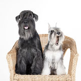 Miniature schnauzer Stock Photography