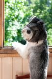 Miniature schnauzer stay paws on the window and look back stock photography