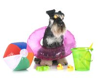 Miniature schnauzer in studio. Miniature schnauzer in front of white background stock photography