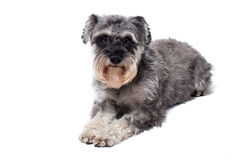 Miniature Schnauzer Terrier Lying Down Royalty Free Stock Photography