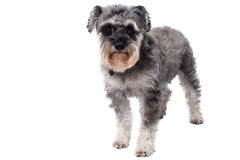 Miniature Schnauzer Terrier Standing in Studio Royalty Free Stock Photos