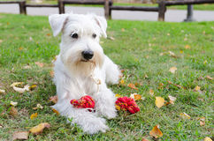 Miniature schnauzer with toy. Miniature white schnauzer play with toy Royalty Free Stock Images