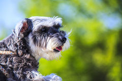 Miniature schnauzer on very nice color background royalty free stock photos