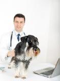 Miniature schnauzer with veterinarian stock images