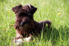 Miniature schnauzer walking outdoors Royalty Free Stock Photos