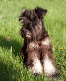 Miniature schnauzer walking outdoors Royalty Free Stock Photo