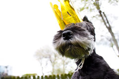 Miniature schnauzer wearing king's crown Royalty Free Stock Image