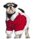 Miniature Schnauzer wearing Santa outfit Stock Image