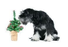 Miniature schnauzer  on white Stock Photos