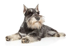 Miniature schnauzer on white background Royalty Free Stock Photo