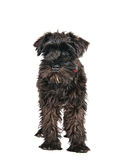 Miniature schnauzer is  Royalty Free Stock Photos