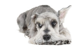 Miniature Schnauzer. On a white background in studio royalty free stock image