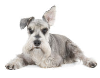 Miniature Schnauzer. On a white background in studio royalty free stock photography