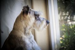 Miniature schnauzer by the window. Indoor portrait of a miniature schnauzer, also known as Zwergschnauzer, wating by the window royalty free stock images
