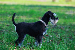 The miniature schnauzer. Young mini schnauzer stands in the grass stock image