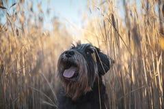 Miniature schnauzer Zwergschnauzer dog on a wheat field. Miniature schnauzer Zwergschnauzer dog on a outdoor wheat field stock photography