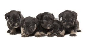 Miniature Schnauzers Stock Images