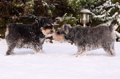 Miniature schnauzers. Two miniature schnauzers play outside in the winter snow Royalty Free Stock Photos