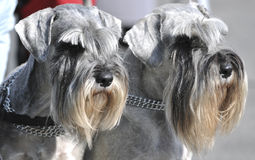 Miniature Schnauzers Dogs Stock Image