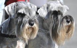 Miniature Schnauzers Dogs stock image