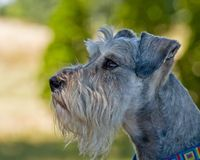 Miniature Schnuzer Outdoors in profile thinking. Miniature schnauzer dog profile image in front of green background outdoors contemplating what to do next stock photo