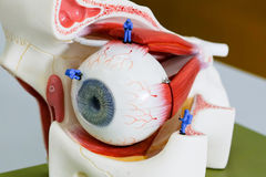 Miniature scientist work at the Human eye nodel. The Miniature scientist work at the Human eye nodel stock image