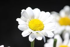 Miniature Shasta Daisy Royalty Free Stock Photography
