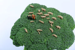 Miniature sheep grazing grass. Shepherd with his flock of sheep in a broccoli plant, sheep grazing broccoli Royalty Free Stock Photography