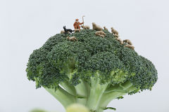 Miniature sheep. Shepherd with his flock of sheep in a broccoli plant Royalty Free Stock Photography