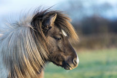 Miniature Sheland Pony in a field royalty free stock image