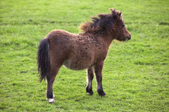 Miniature shetland pony horse foal Stock Image