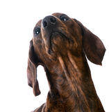 Miniature smooth dachshund portrait Stock Images