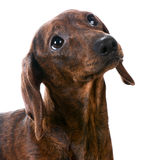 Miniature smooth dachshund Stock Images