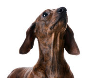 Miniature smooth dachshund portrait Stock Photos