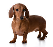 Miniature smooth dachshund Royalty Free Stock Photography