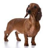 Miniature smooth dachshund Stock Photos