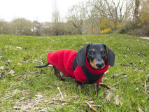 Miniature Smooth-haired Dachshund on grass Stock Images