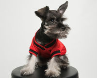 Miniature Schnauzer Puppy. A Miniature Schnauzer Puppy sits on a stool in front of a white backdrop. He is wearing a football jersey stock photos