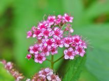 Miniature spiraea Royalty Free Stock Images