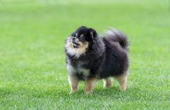 Miniature spitz on the green field. Miniature spitz staying on the green field Royalty Free Stock Images