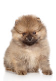 Miniature spitz puppy sitting Stock Photo