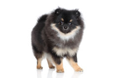 Miniature spitz puppy on a white background Stock Photos
