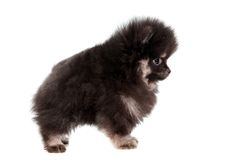 Miniature Spitz puppy on white Royalty Free Stock Photography