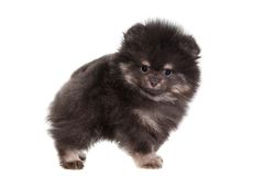 Miniature Spitz puppy on white Stock Photo
