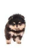 Miniature Spitz puppy on white Royalty Free Stock Image