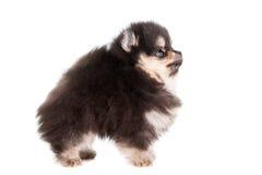 Miniature Spitz puppy on white Stock Photos